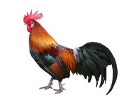 Rooster-3