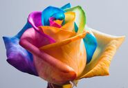 Happy Roses Rainbow Rose II by HappyRoses