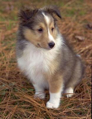Shetland-Sheepdog-Puppies-Gray