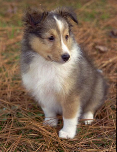 Shetland-Sheepdog-Puppies-Gray