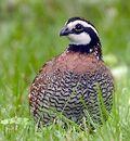 Bobwhite-quail