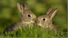 20130127-rabbits thumb