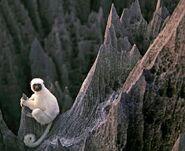 LemurSaffy