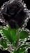 Black rose budding