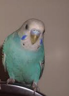 Harle's budgie