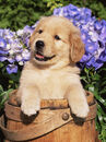 Stone-lynn-m-golden-retriever-puppy-in-bucket-canis-familiaris-illinois-usa