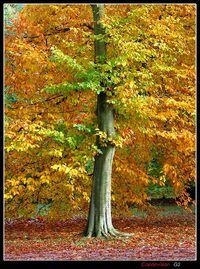 Maple-tree-fall