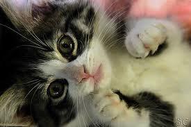 Flame's Kitten