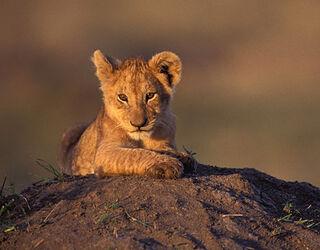 8lion-cub-mara