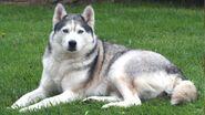 Meet-the-breed-siberian-husky