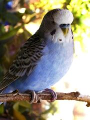 Wise's budgie