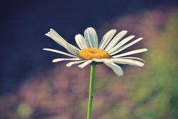 365 Daisy