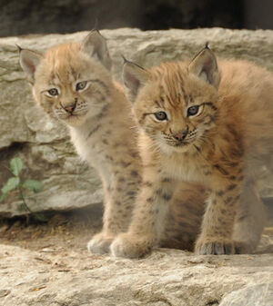 Two lynxes (pets)