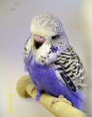 Soap's budgie