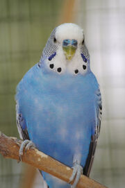 Ruby's budgie
