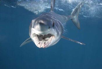 Mako Shark 4c456b38f08a3