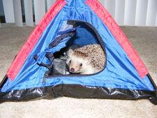 Pet hedgehog in a tent
