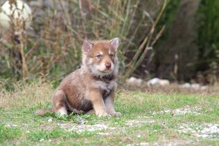 Lotusaquariasarlooswolfhound