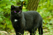 Black Cat With Purple Eyes by OnlyAngel55