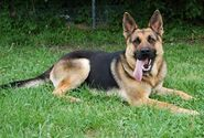 German shepherd dog-13074