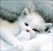 Harle's Kitten