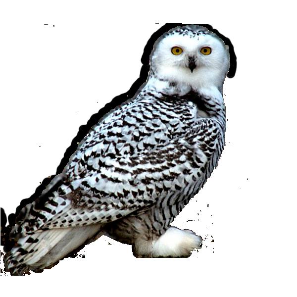 Image Snowy Owlg Camp Half Blood Role Playing Wiki Fandom