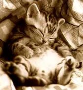Cute,kitten,kitty,sleepy,kitty-807069dd5c258df1ad14a615a5c9d217 h