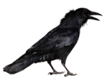 Crow 1 by peroni68-d3aqzyf (1)