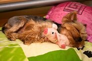 Cute-puppy-yorkie-yorkshire-terrier-Favim.com-169711