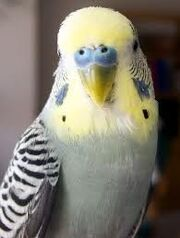 King's budgie