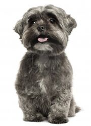 8651306-shih-tzu-panting-3-years-old-sitting-in-front-of-white-background