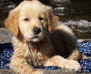 Golden-Retriever-Puppy-11