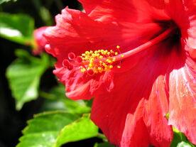 Red flower open