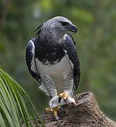 Acilino Eagle