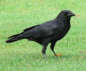 Rosella's pet crow