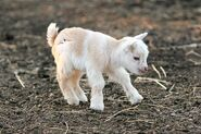 Bwaby Goat