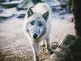 Pets/Aris' Wolf