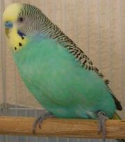 Moodly's budgie