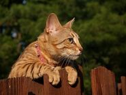 5397461-a-striped-gold-colored-female-serval-savannah-cat-looking-over-a-wooden-fence-with-golden-yellow-eyes-wearing-a-pink-collar