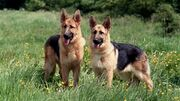 Serina's german sheperds
