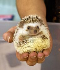 11298078-a-man-holds-a-domesticated-hedgehog-pet-in-the-palm-of-his-hand