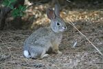 Increasing-wild-rabbit-survival-supplemental-food 155