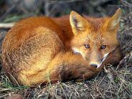 Red-fox 679 600x450