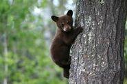 Dex Bear 2