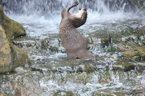 Otter in waterfall