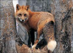Fox-picture