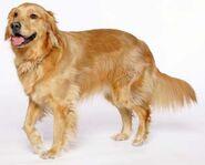 Bennet Dog
