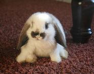 Serena Bunny