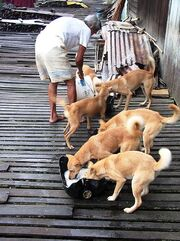 Borneodogs