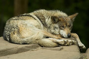 MexicanWolf